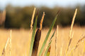 Bulrush common on a meadow Stock Photo