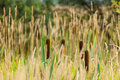 Bulrush common on a meadow Royalty Free Stock Photography