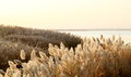 Bulrush field by the waterside in northwest china Royalty Free Stock Photography