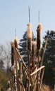 Bulrush flower autumn bunch of flowres of typha latifolia Stock Images