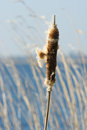 Bulrush near water Royalty Free Stock Image