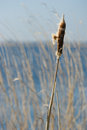 Bulrush near water Royalty Free Stock Images