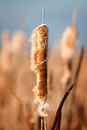 Bulrush old open typha latifolia with reed near water Royalty Free Stock Photos