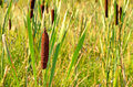 Bulrush plant Royalty Free Stock Images