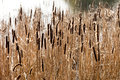 Bulrush plant growing next to a lake Stock Photo