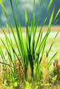 Bulrush plant on sunrise landscape Stock Photos