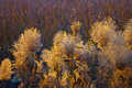 Bulrush in winter Royalty Free Stock Photos