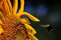 Bumble Bee aproaching Sunflower Royalty Free Stock Photo