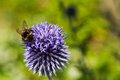 Bumble Bee  on a Blue Thistle Royalty Free Stock Photo