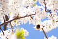 Bumble bee on the bunches of cherry blossom with white flowers against blue sky Royalty Free Stock Photo