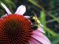 Bumble bee collecting pollen on a cone flower with grass in the background Royalty Free Stock Photo