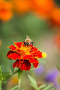 Bumble bee collecting pollen in the garden beautiful flower and blurred background Royalty Free Stock Photography