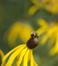Bumble bee on cone flower gathering nectar yellow Stock Image