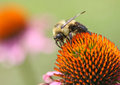 Bumble Bee on Coneflower Stock Photo