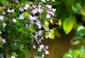 Bumble bee on creeping thyme pollinating the Royalty Free Stock Image