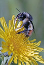 Bumble bee feeding bumblebee on dandelion flower close up Stock Photo