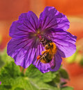 A bumble bee feeding on a geranium flower clinging to purple searching for the pollen Stock Photography