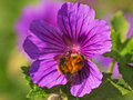 A bumble bee feeding on a geranium flower clinging to purple searching for the pollen Royalty Free Stock Image