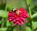 A bumble bee feeds on a flower. Royalty Free Stock Photo