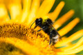 A Bumble Bee feeds on a Golden Yellow Flower Royalty Free Stock Photo