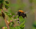 Bumble bee in flight in black blooming currant bush Royalty Free Stock Photo