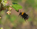 Bumble bee in flight to blooming currant Royalty Free Stock Photo