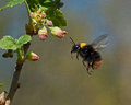 Bumble bee in flight to  currant flowers Royalty Free Stock Photo