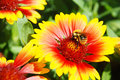 Bumble-bee on a flower Royalty Free Stock Image