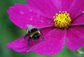 Bumble bee on a flower Royalty Free Stock Photo