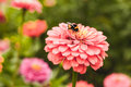 Bumble bee on flower Royalty Free Stock Photo