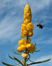 Bumble bee flying to yellow flowers with against blue cloudy sky Royalty Free Stock Photo