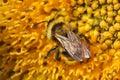 Bumble-bee gathering nectar on sunflower – macro Royalty Free Stock Photo