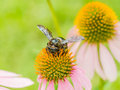 Bumble bee gathering polen close up Stock Image