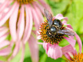 Bumble bee gathering polen close up Stock Photo