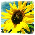 Bumble bee middle sunflower Royalty Free Stock Photography