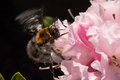 Bumble bee on a pink flower macro shot of feeding in spring Royalty Free Stock Images