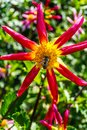 Bumble Bee Pink Red Yellow Minature Fancy Dahlia Royalty Free Stock Photo