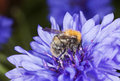 Bumble bee pollinating on cornflower. Royalty Free Stock Images