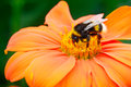 Bumble bee pollinating a flower Stock Photo