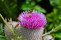 Bumble bee on a purple woolly thistle. Royalty Free Stock Photo