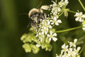 Bumble bee on Queen Anne& x27;s lace from Newbury, New Hampshire Royalty Free Stock Photo