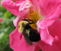 Bumble Bee on the Rose Royalty Free Stock Photo