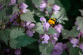 Bumble bee sitting on flowers close up with one bee within summ summer Stock Photo