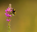 Bumble bee sitting on the wild flower closeup Royalty Free Stock Photography