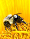 Bumble bee on sunflower covered in pollen collecting nectar from a mature pod Royalty Free Stock Images