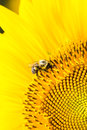 Bumble bee on sunflower pollinating a Stock Photos