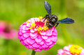 Bumble bee working gathering polen from zinnia elegans flower Stock Image
