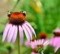 Bumble bees on coneflower Royalty Free Stock Photo