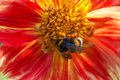 Bumblebee on aster flower red Royalty Free Stock Photography