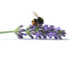 Bumblebee on blooming lavender with pollen pockets isolated white background Royalty Free Stock Photo